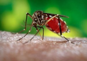mosquito taking blood