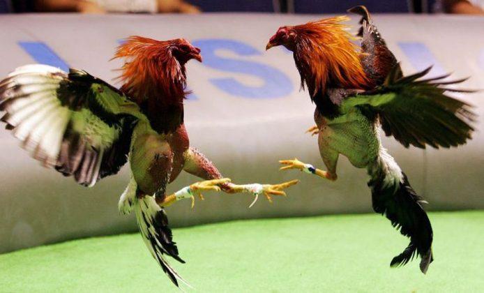 Cancelan permisos para peleas virtuales de gallos por incumplimiento de medidas preventivas COVID-19