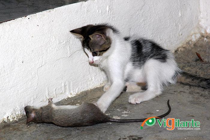Advierte ratones producen 714 enfermedades, 75 de ellas pueden causar la muerte