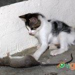 Advierte sobre los peligros que pueden ser los ratones para la salud. (Foto: Genris García)