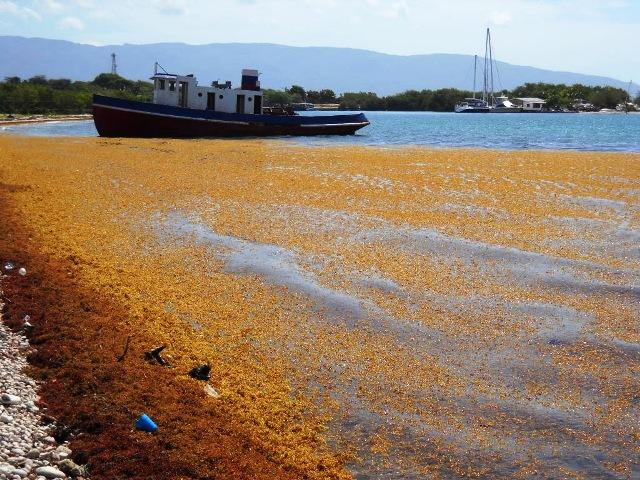 Algas marina llegadas a las costas de Barahona.