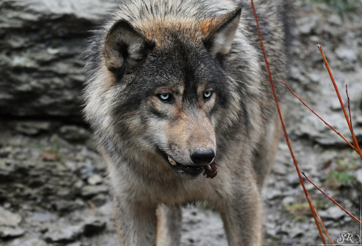 Gray Wolf Snarling Tumblr - Year of Clean Water