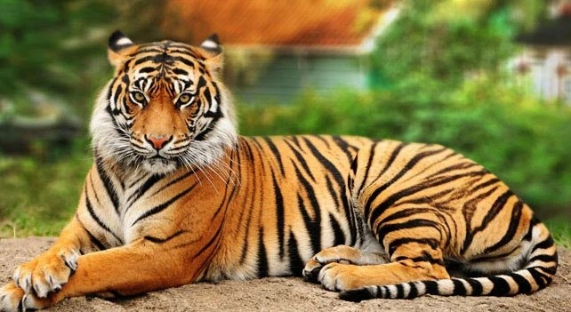 tiger animal planet s