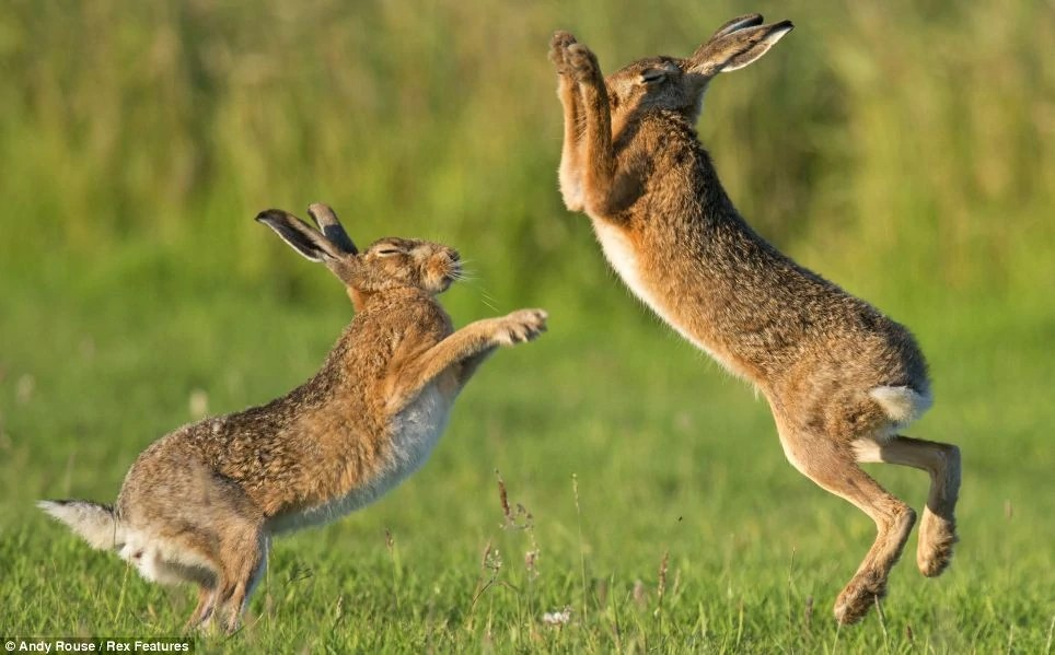 hare animal planet s
