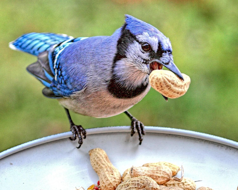 blue jay birds wiki