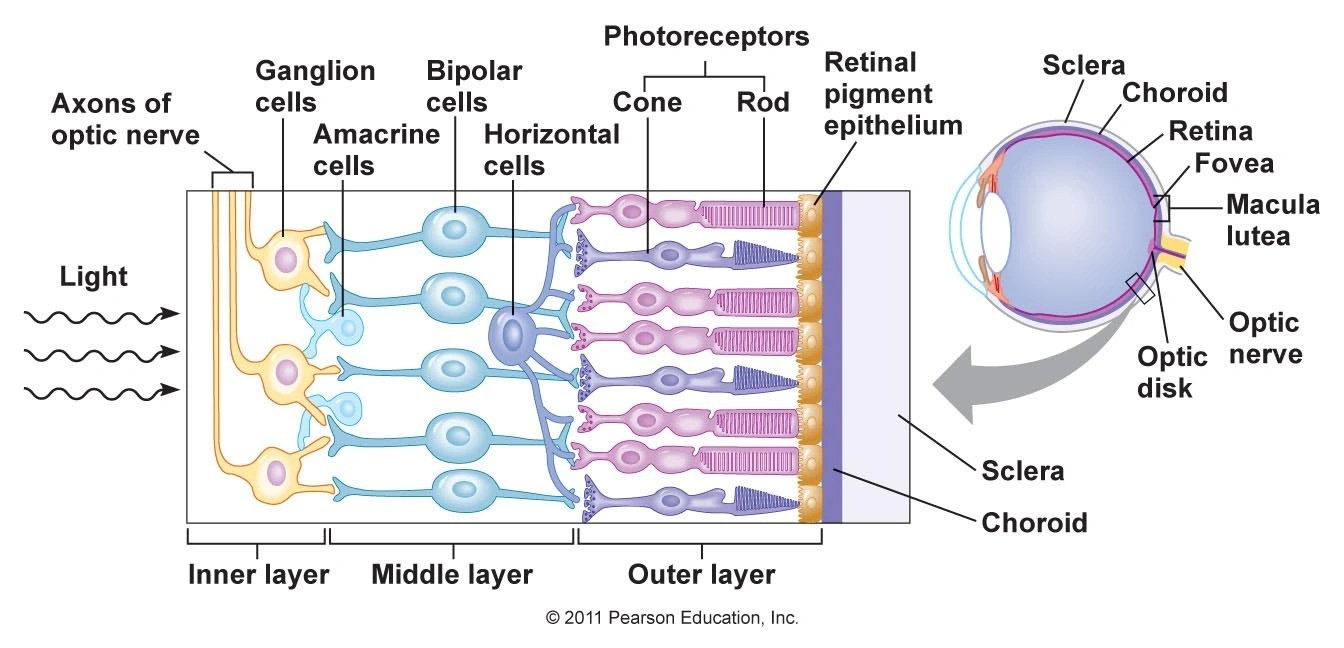medium resolution of eye