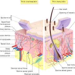 Skin Cross Section Diagram Woody Dicot Stem House Wiki Fandom Powered By Wikia A Of The Courtesty Madhero88 Via Wikipedia Commons