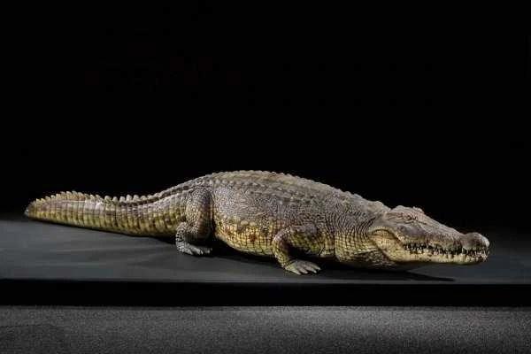 male crocodile lake placid