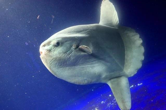 Ocean Sunfish | Marine Wiki | Fandom