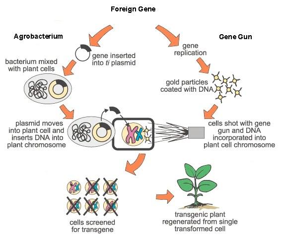 Geneticially Modified Bt Corn   MMG 233 2014 Genetics ...