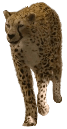 Cheetah  The Chronicles of Narnia Wiki  FANDOM powered