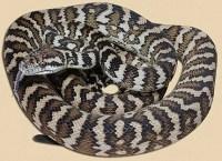 Carpet Python | The Parody Wiki | FANDOM powered by Wikia