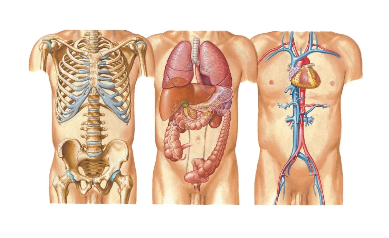medium resolution of diagram of chest organs wiring diagram blogs diagram of organs upper chest diagram of chest organs