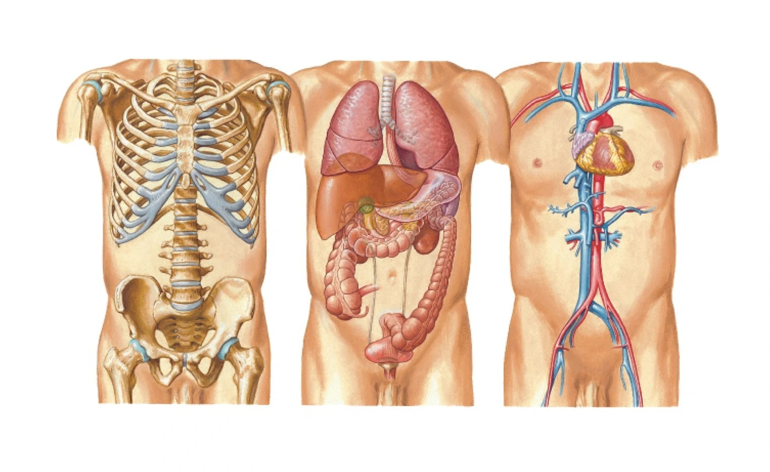 small resolution of diagram of chest organs wiring diagram blogs diagram of organs upper chest diagram of chest organs