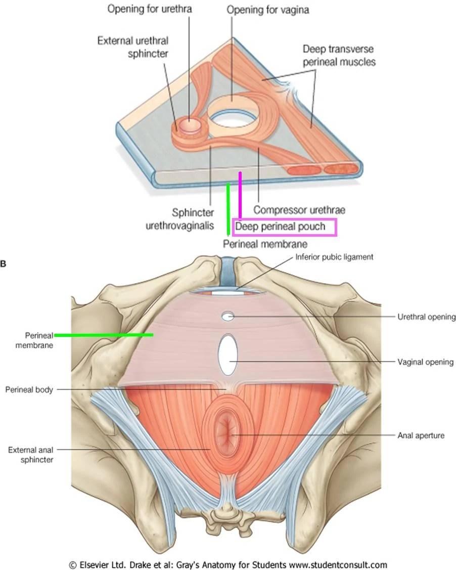 medium resolution of  perineal muscle perineal membrane1314861567308