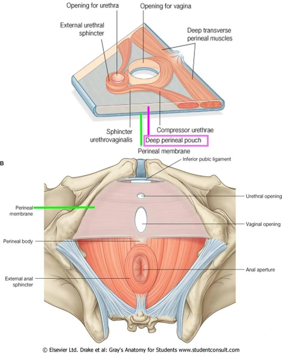 hight resolution of  perineal muscle perineal membrane1314861567308