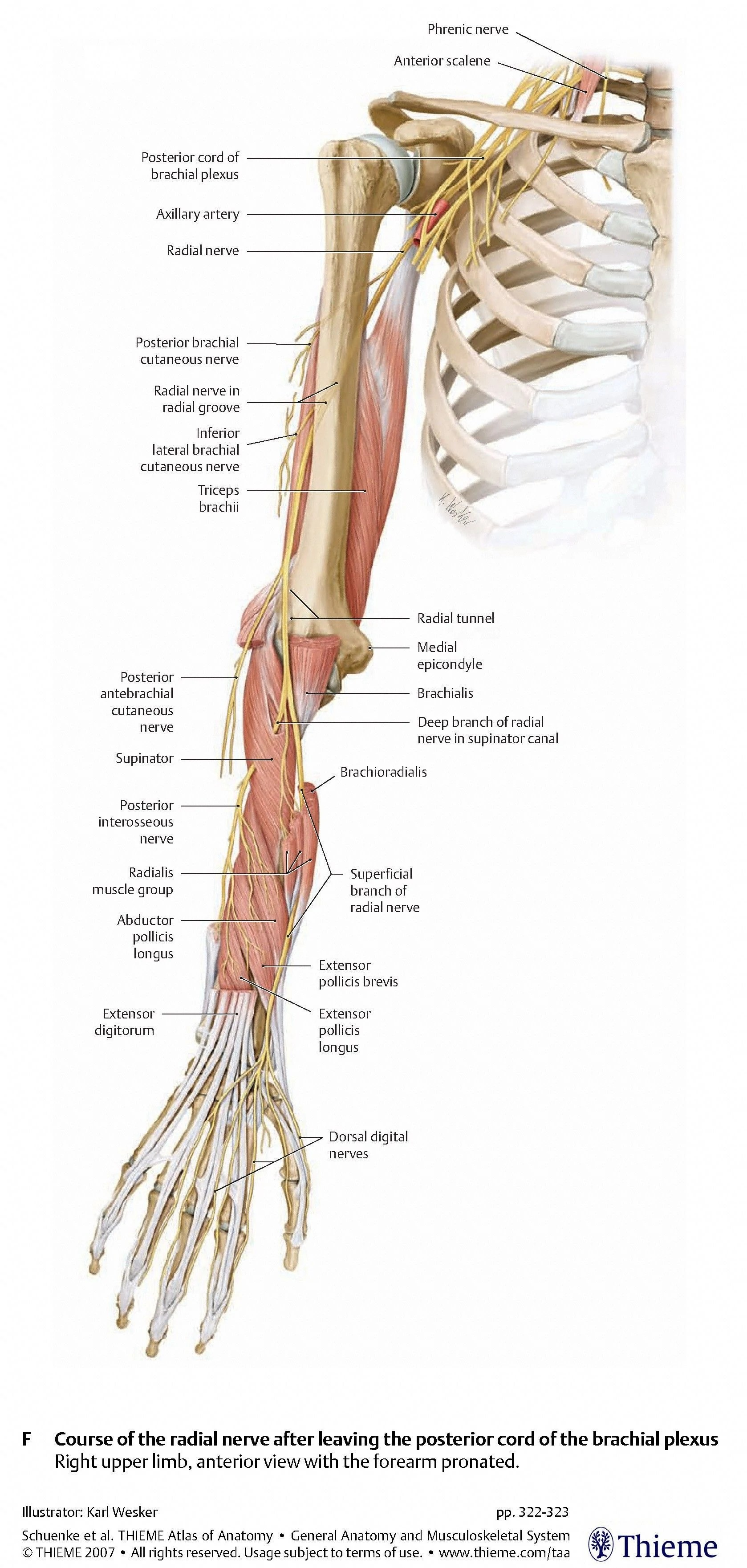hight resolution of nerves arm shoulder radial nerve course relations and innervation