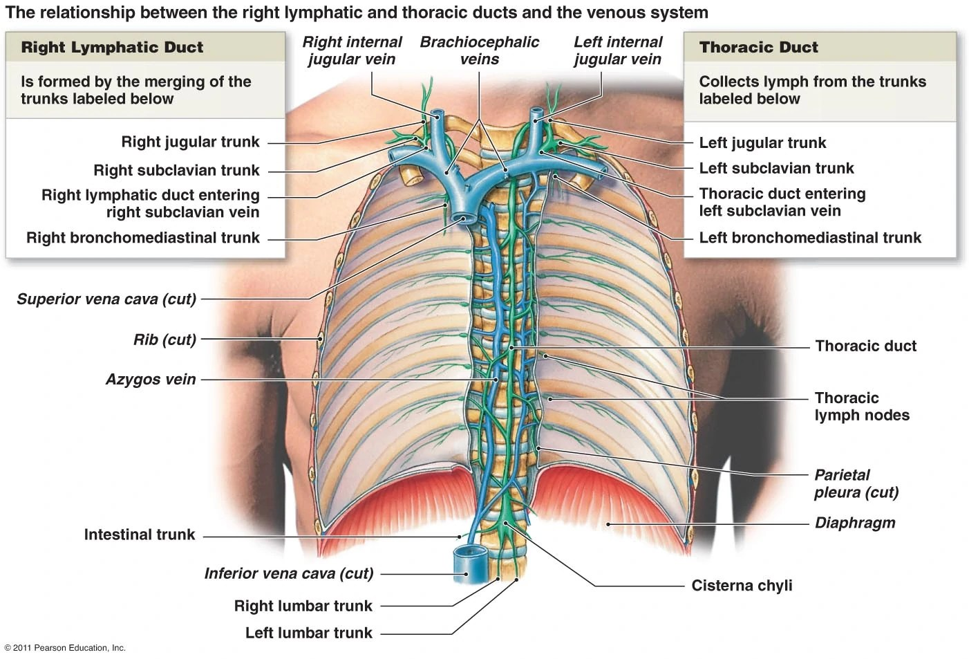 hight resolution of lymphducts course the thoracic duct enters