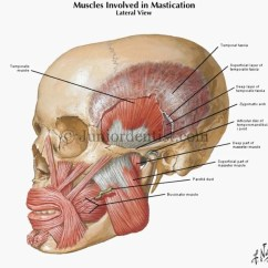Anterior Teeth Diagram 2003 Cadillac Cts Parts Temporal Fossa:masseter Muscle | Ranzcrpart1 Wiki Fandom Powered By Wikia