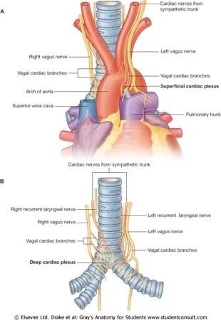 vagus nerve diagram sony xplod cd player wiring cardiac block thorax nerves plexus ranzcrpart1 wiki fandom powered by arteries