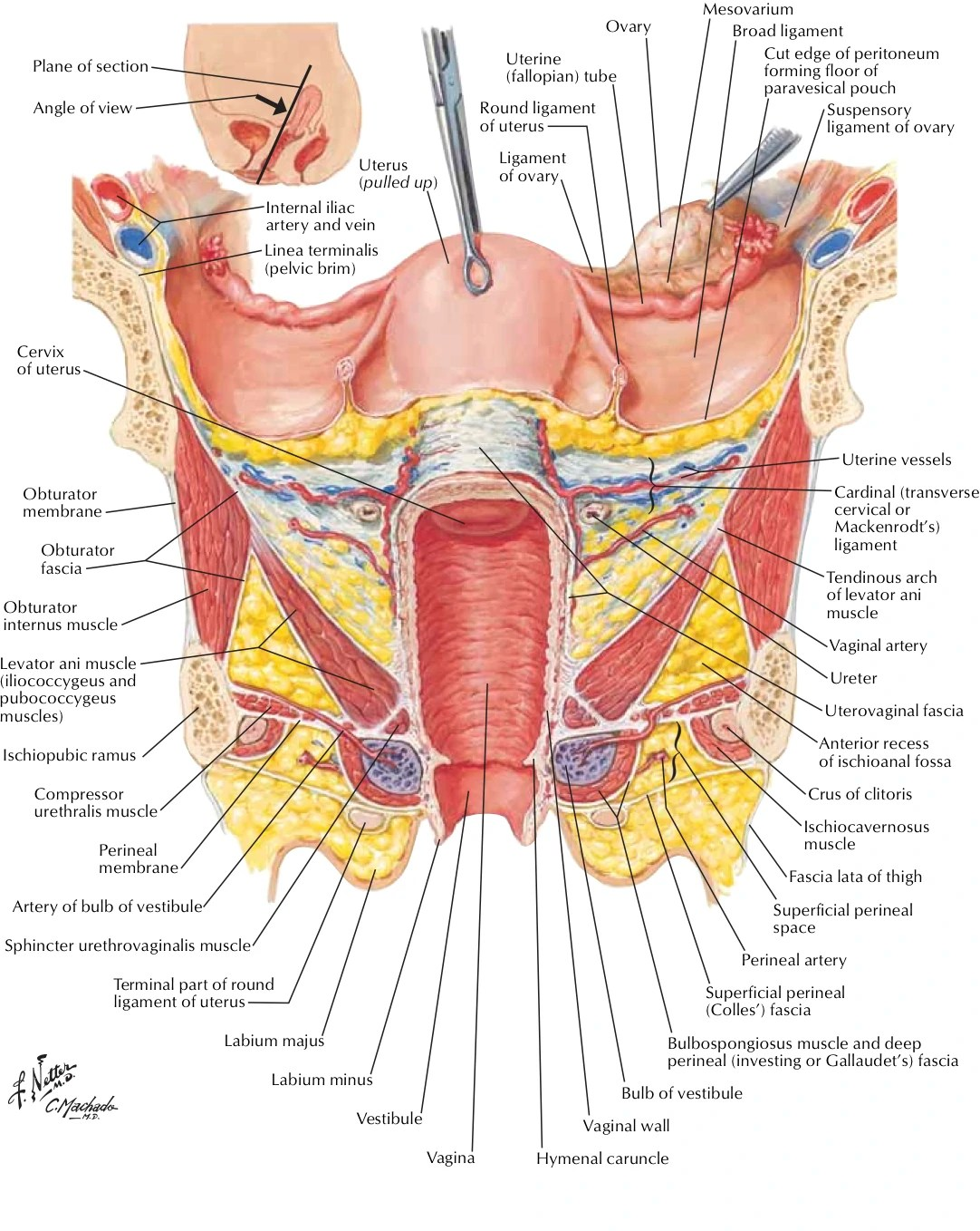 small resolution of netter ligaments chart copy