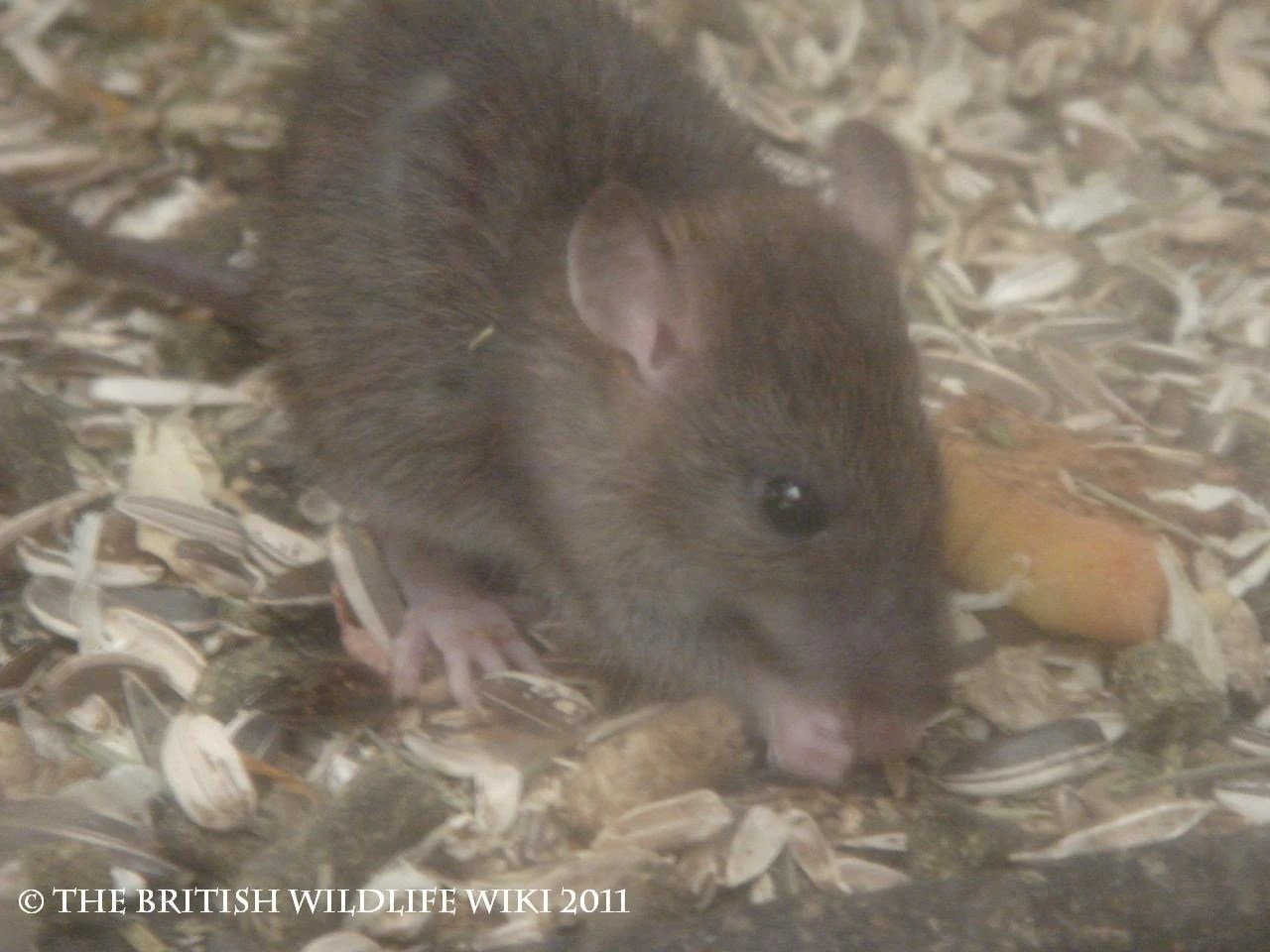 Brown Rat | British Wildlife Wiki | Fandom