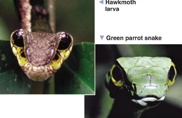 Mimicry DragonflyIssuesInEvolution13 Wiki Fandom