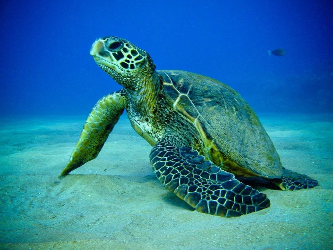 Green Sea Turtle  Marine Wiki  Fandom powered by Wikia