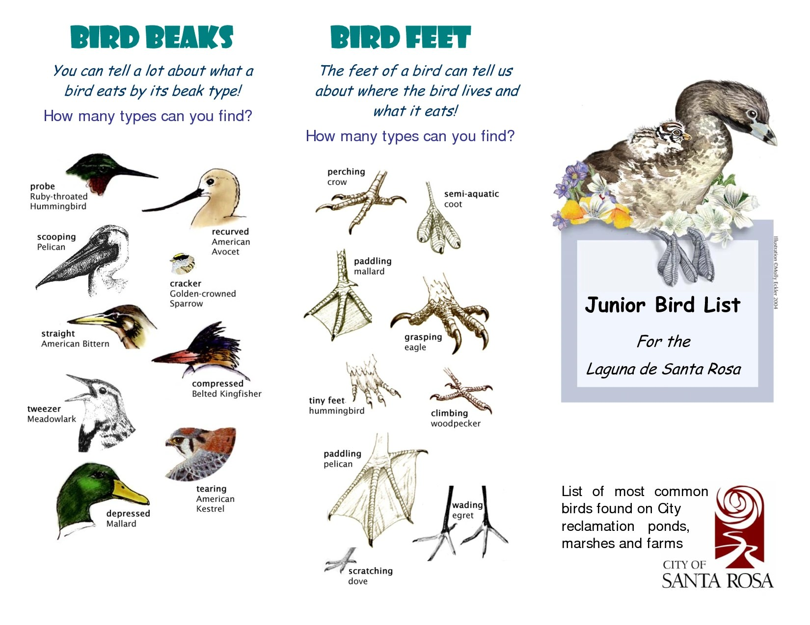 Birds Beaks Adaptations