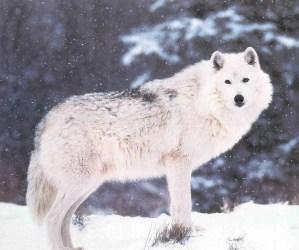 wolf snow magic roleplay wikia academy international