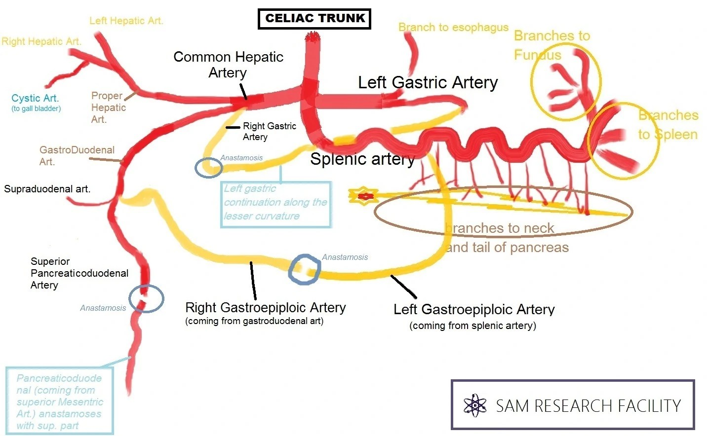 portal vasculature diagram fender strat wiring left handed abdomen visceral arteries celiac ranzcrpart1 wiki