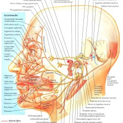 Nerves In Neck And Shoulder Diagram 2002 Nissan Sentra Headlight Wiring Temporal Bone Facial Nerve Ranzcrpart1 Wiki Fandom