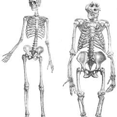 Chimpanzee Skull Diagram Miller Electric Furnace Wiring Great Ape Language Psychology Wiki Fandom Powered By Wikia