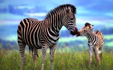 cebra mamá y bebé