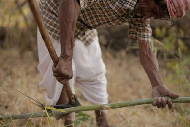 Mansa Ram harvests some of the bamboo from their protected forest. After a lengthy campaign, the village was finally able to persuade the forest department to let them keep 90% of produce harvested from the area, an increase from their original 50% entitlement.