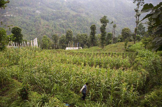 Farmer Nimtshreng Lepcha walks through a field of organic crops on a farm in Lower Nandok.