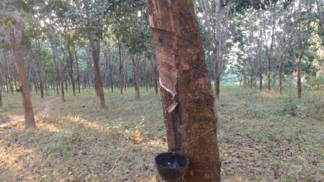 Rubber plantation at Rampur village.