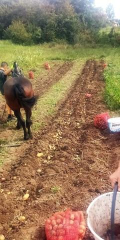 Vađenje krompira