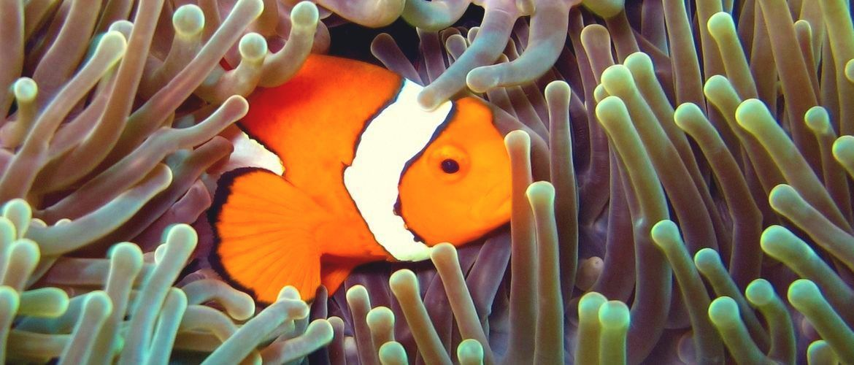Nemo pendant une plongée en Indonésie - diving gili islands - menyelam