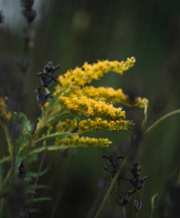 bright blooming goldenrods on thin stems in field