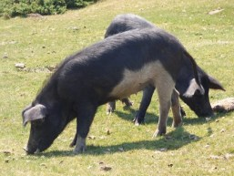 """Le cochon """"nustrale"""""""