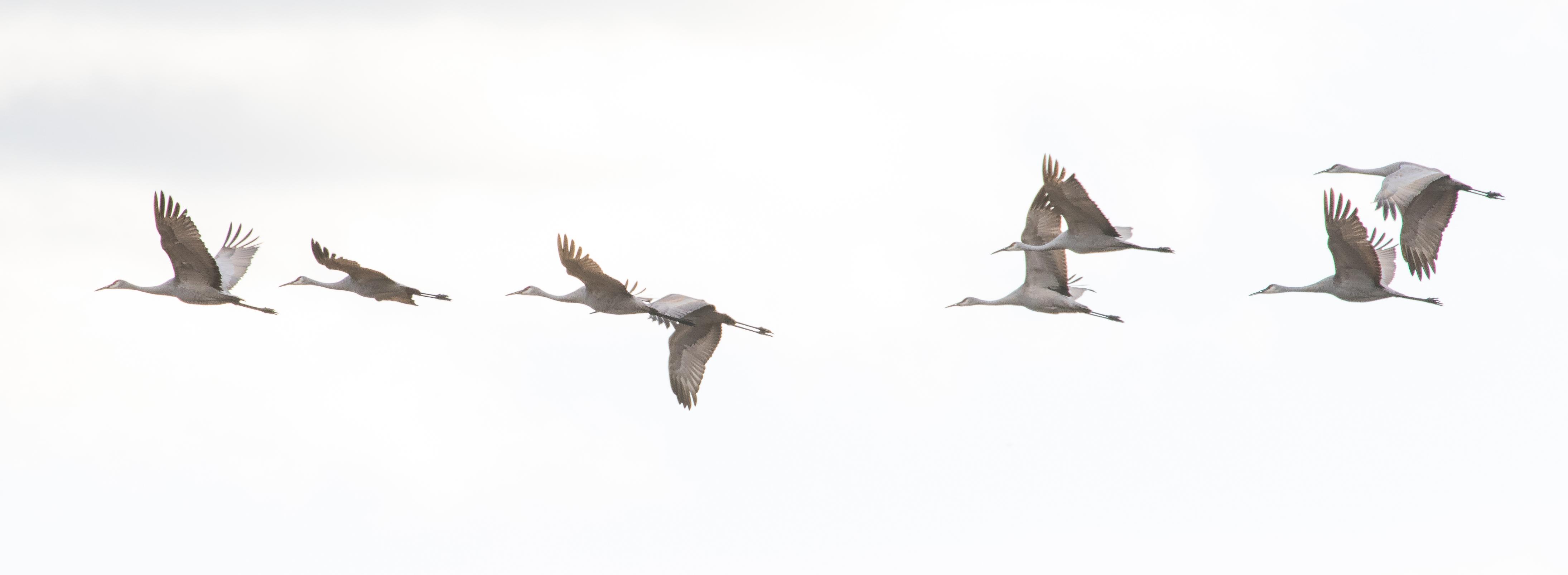 6K9A6973.jpg by Dan Ferrin Photography-Sandhill Cranes