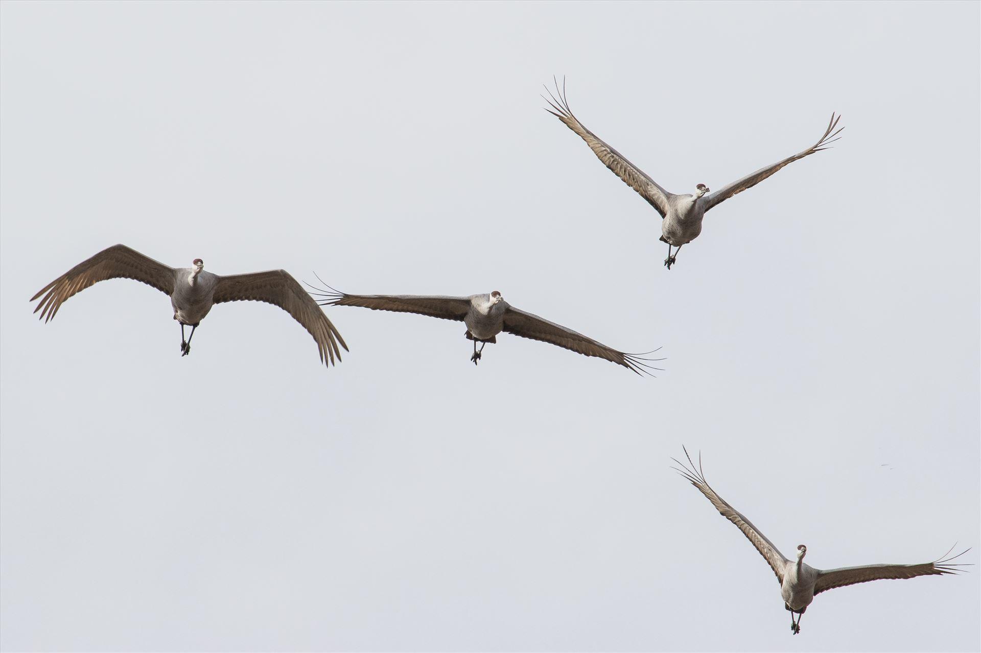 6K9A3877.jpg by Dan Ferrin Photography-Sandhill Cranes