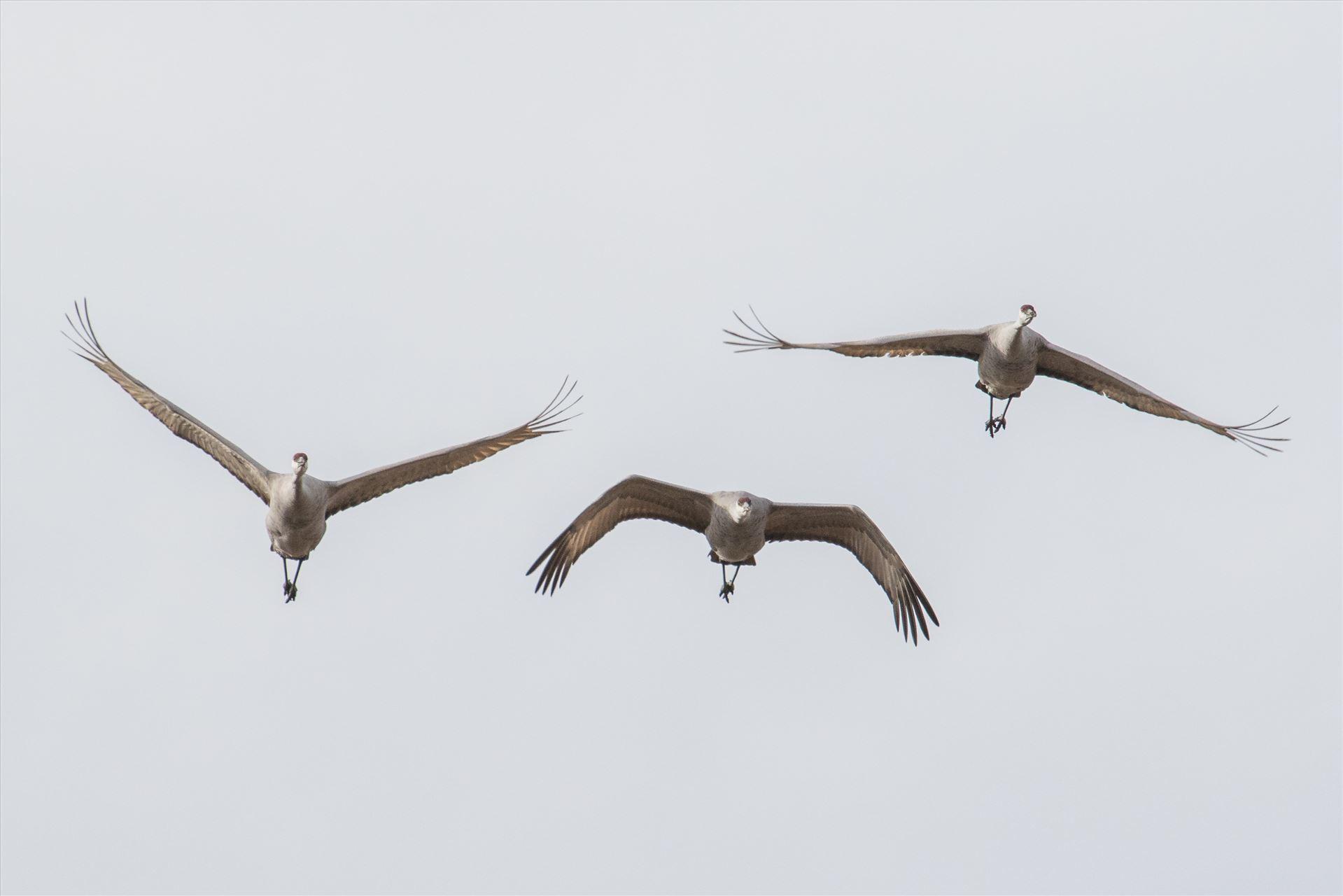 6K9A3875.jpg by Dan Ferrin Photography-Sandhill Cranes