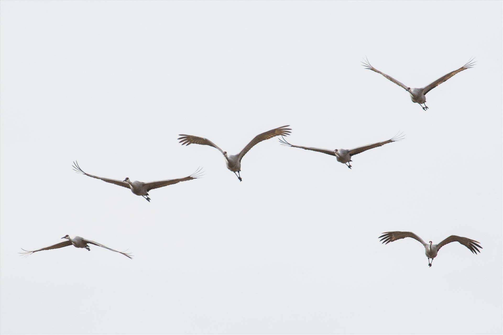 6K9A3873.jpg by Dan Ferrin Photography-Sandhill Cranes