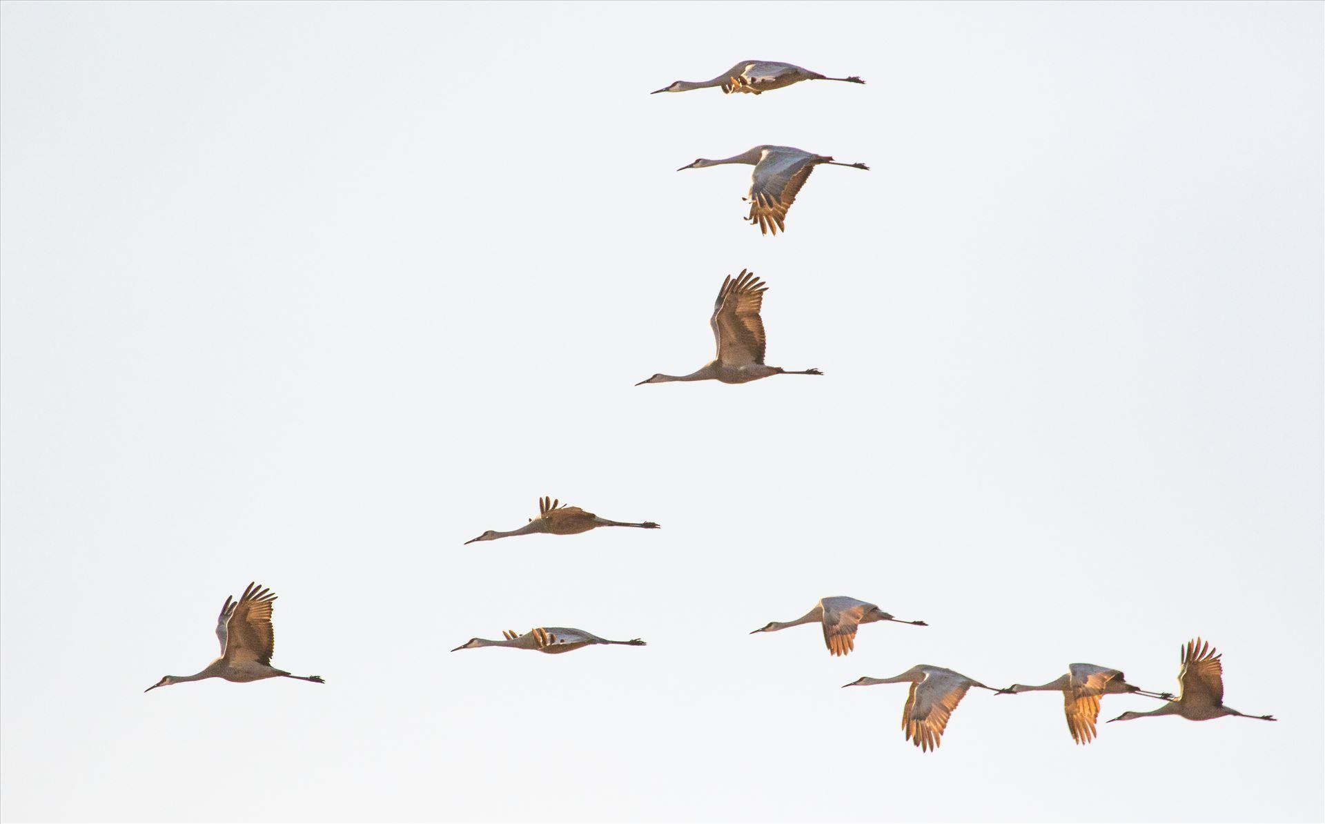 6K9A6461.jpg by Dan Ferrin Photography-Sandhill Cranes