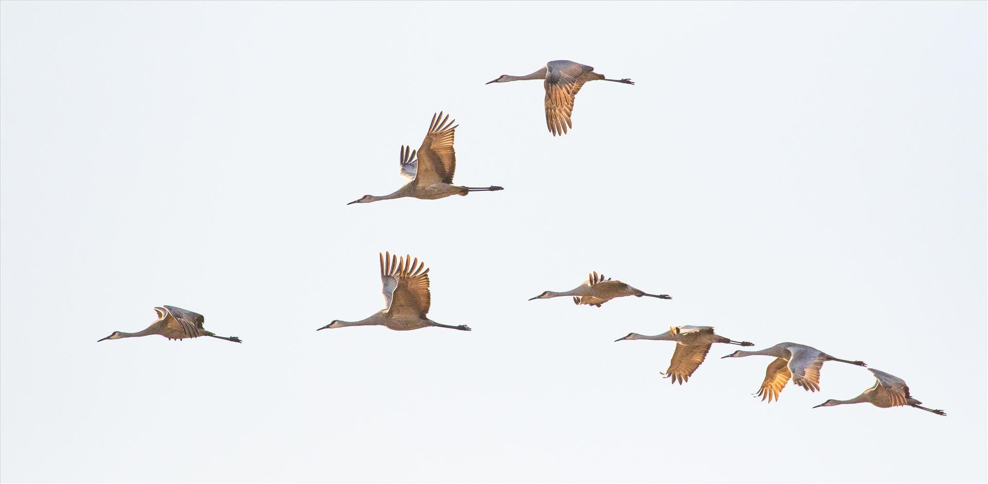 6K9A6457.jpg by Dan Ferrin Photography-Sandhill Cranes