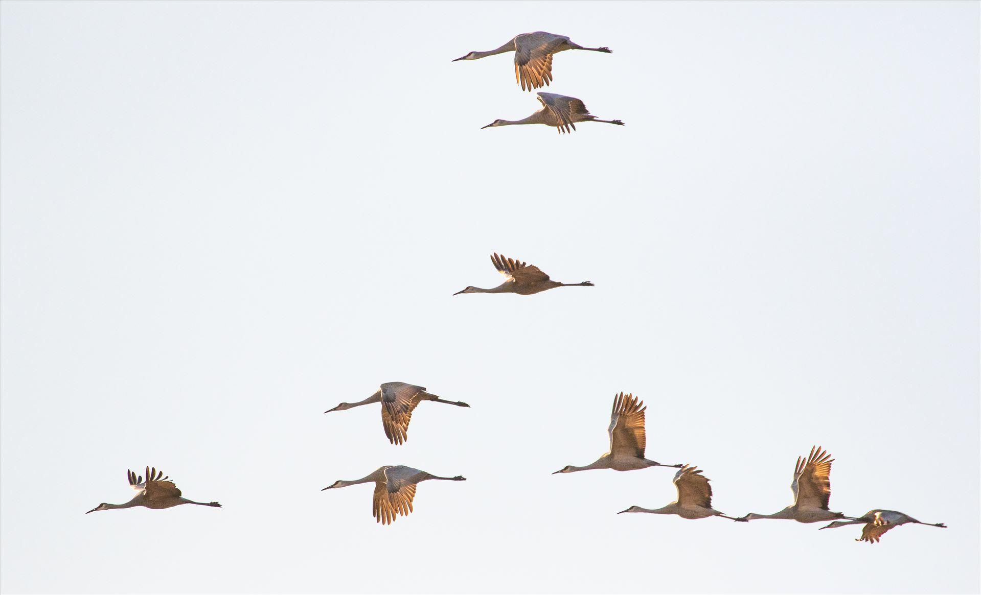 6K9A6462.jpg by Dan Ferrin Photography-Sandhill Cranes