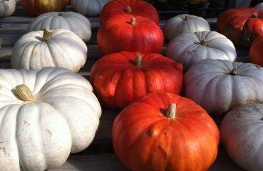 Locally grown pumpkins