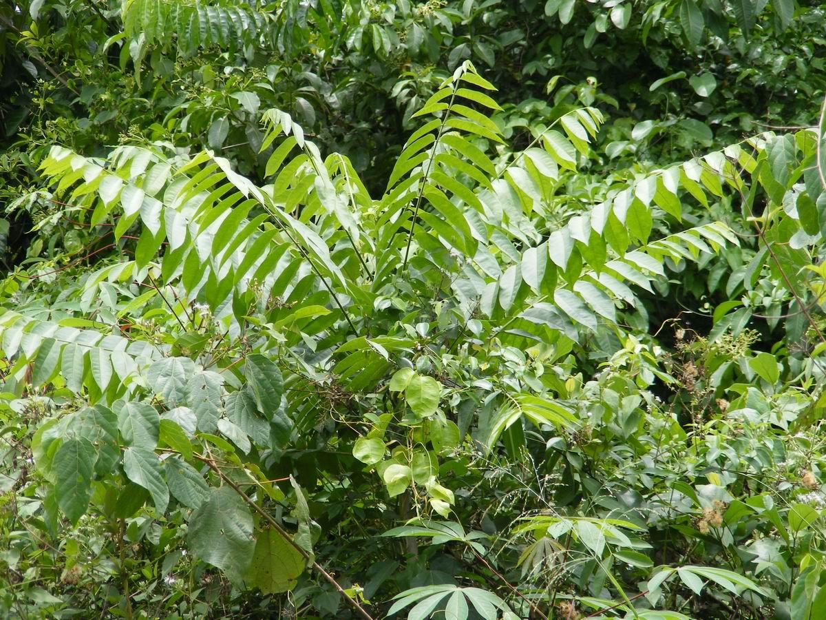 A cederella which has grown through the canopy
